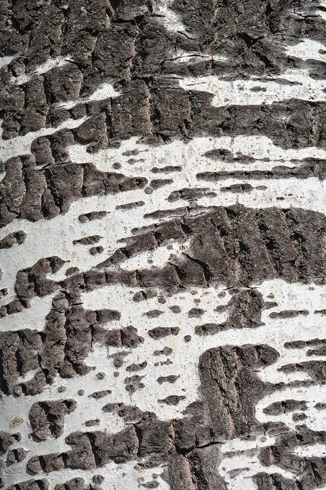 white poplar bark