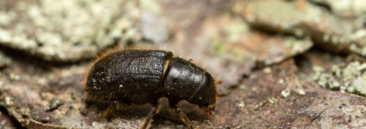 GREAT SPRUCE BARK BEETLE - Dendroctonus micans